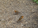 Our friendly Robins